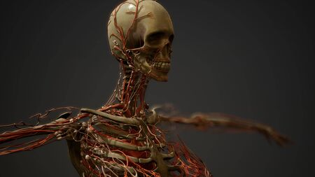 Human body blood vessel anatomy Banque d'images