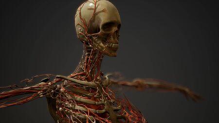 Human body blood vessel anatomy Stock Photo