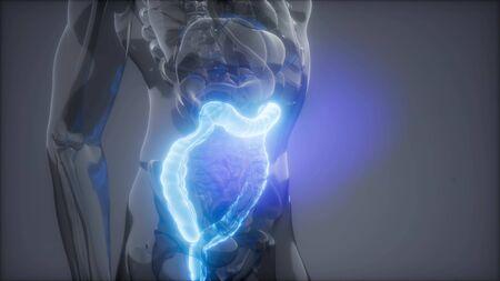 science anatomy scan of human colon glowing Standard-Bild