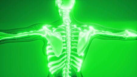 medical science illustration of human skeleton bones Stock Illustration - 130914907