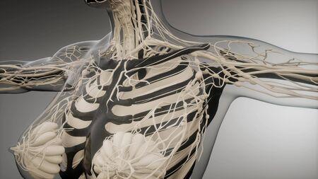 medical science illustration of human skeleton bones Stock Illustration - 130914912