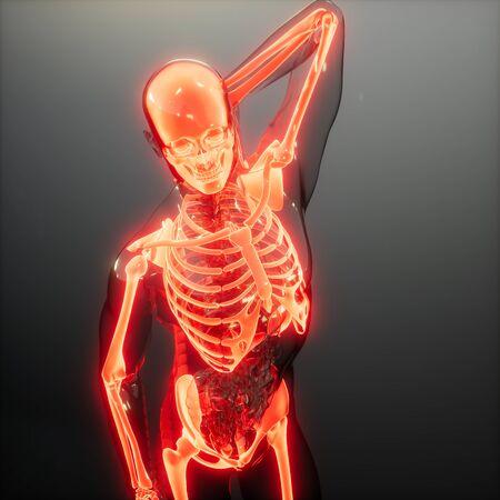 medical science image of human skeleton bones