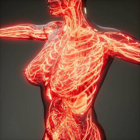 science anatomy scan of human blood vessels 写真素材