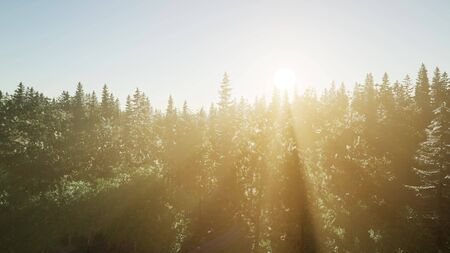 healthy green trees in a forest of old spruce, fir and pine trees in wilderness of a national park