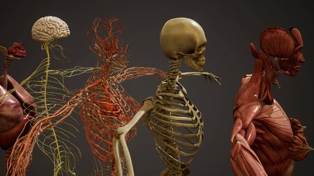 Animated 3D human anatomy illustration Stock fotó