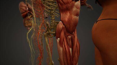 Animated 3D human anatomy illustration Stock Photo