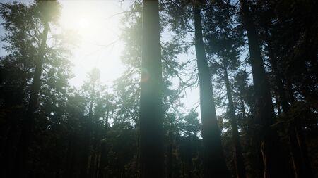 Giant Sequoia Trees at summertime in Sequoia National Park, California Stock fotó