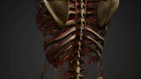 Human body blood vessel anatomy Stockfoto