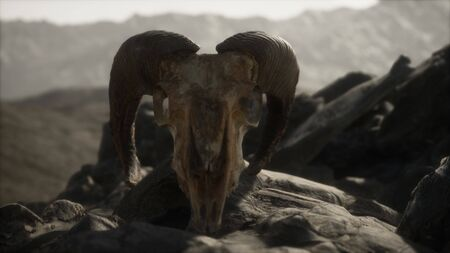 European mouflon ram skull in natural conditions in rocky mountains