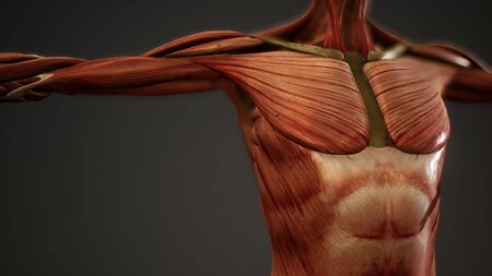 Muscular System of human body animation Imagens
