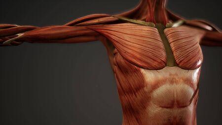 Muskelsystem der menschlichen Körperanimation
