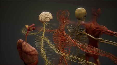Animated 3D human anatomy illustration 写真素材