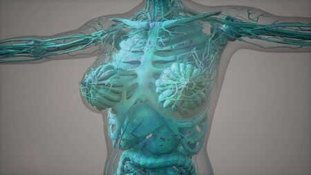 model showing anatomy of human body illustration