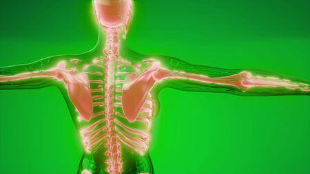 Ilustración de la ciencia médica de los huesos del esqueleto humano