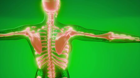 medizinische Illustration der menschlichen Skelettknochen