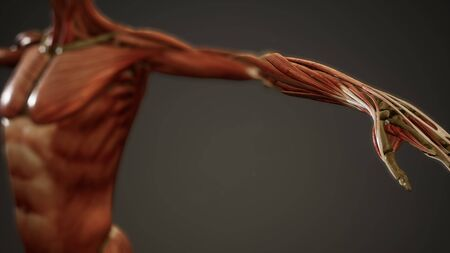 Muscular System of human body animation Stockfoto