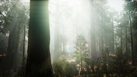 Sequoia National Park under the fog mist clouds fantasy. Sequoia Redwood Forest