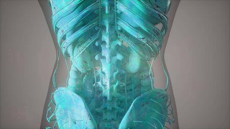 Complete close-up view of the Skeletal System with transparent body Stock Photo