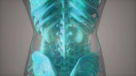 Vue rapprochée complète du Skeletal System avec corps transparent Banque d'images