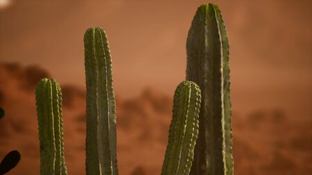 Arizona desert sunset with giant saguaro cactus Фото со стока