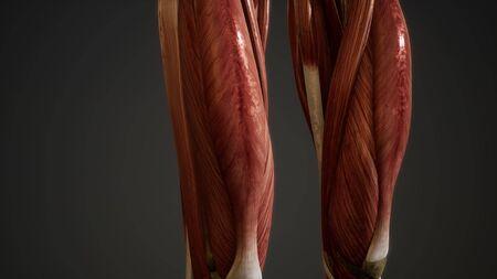 Muscular System of human body animation Standard-Bild