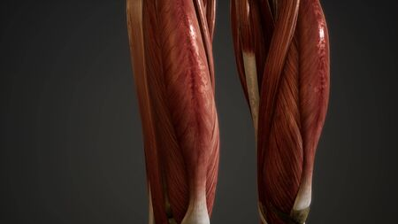 Muscular System of human body animation Stock fotó