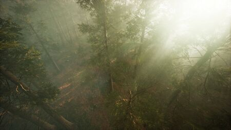 Drone breaking through the fog to show redwood and pine tree Foto de archivo