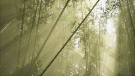 asian bamboo forest with morning fog weather