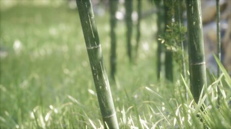Green Bamboo trees forest background. Shallow DOF Foto de archivo