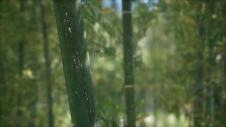 Green Bamboo trees forest background. Shallow dof 写真素材