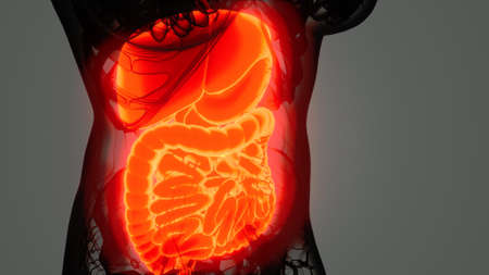 detailed human digestive system anatomy 免版税图像