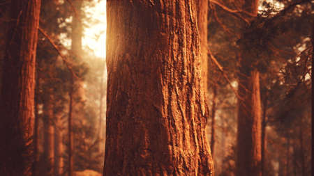 giant sequoias in redwood forest