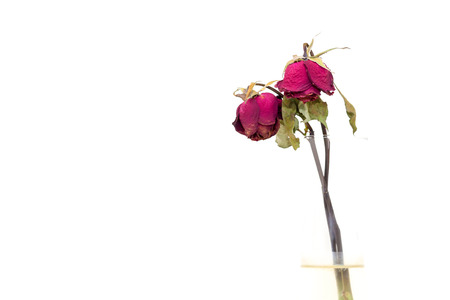 faded: Dry roses on white background.