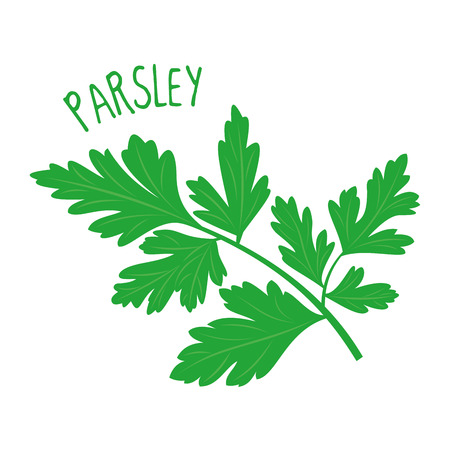 Parsley on white illustration