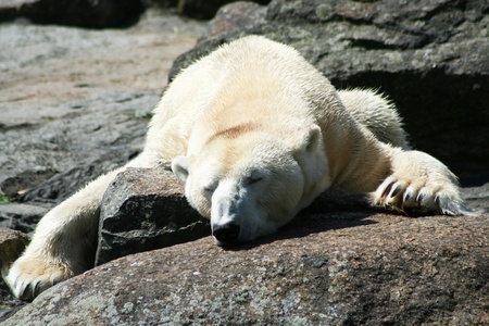 Polar bear in the zoo