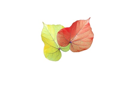 Yellow and red leaves isolated