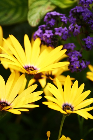 Yellow and violet flowers Stock Photo
