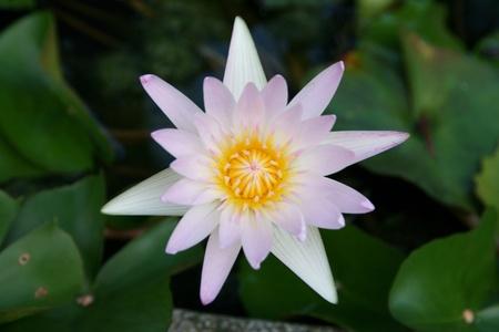 Blossom lotus photo