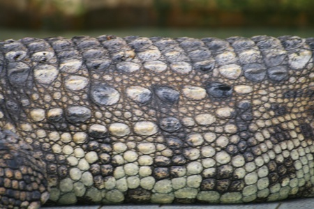 Close up of crocodile skin Stock Photo