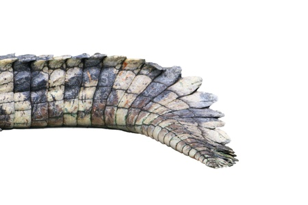 A crocodile tail isolated Stock Photo