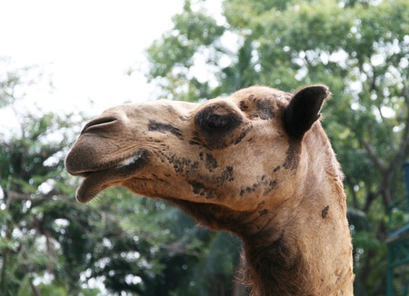A camel side face