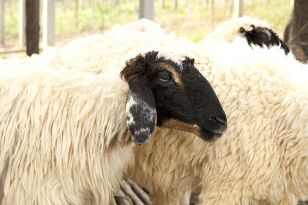 Black face sheep in the farm
