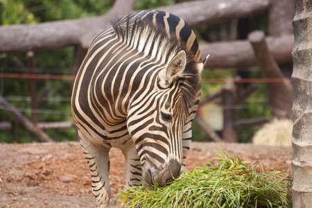 A zebra eating grass in the zoo