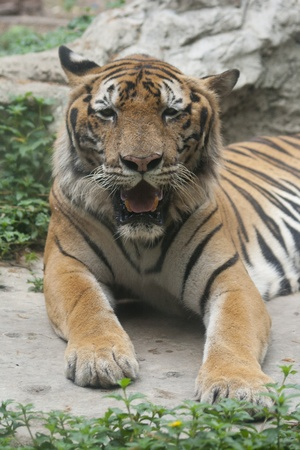 A Bengal Tiger lies down in the zoo photo