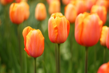 Close up of fresh orange tulips at Keukenhof garden, the netherlands