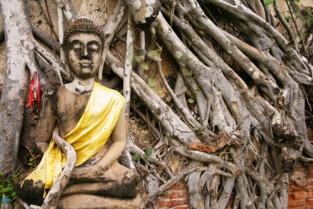 A Buddha statue with wooden root on ancient wall, Ayuthaya Thailand