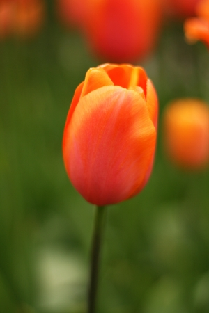 Close up of fresh orange tulips at Keukenhof garden, the netherlands photo