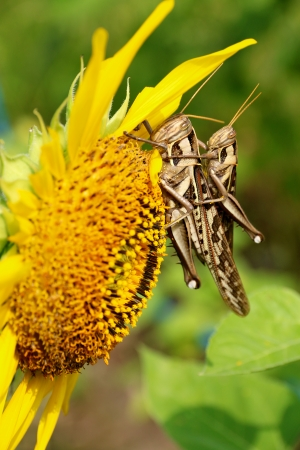 Grasshoppers and sunflower