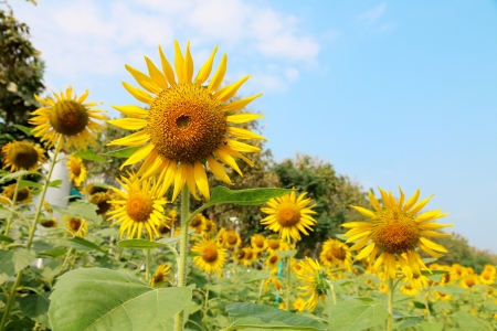 sunflower agriculture field