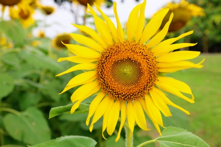 Sunflower in the agriculture field